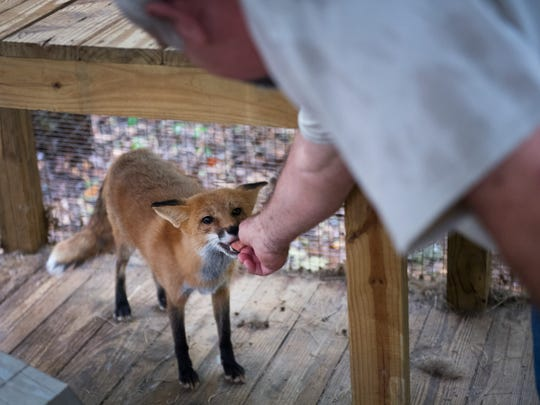 Mike Hoskinson feeds a treat to a fox at his home in Piedmont where he and his wife run Wild at Heart Wildlife Rehabilitation on Thursday, August 31, 2017.