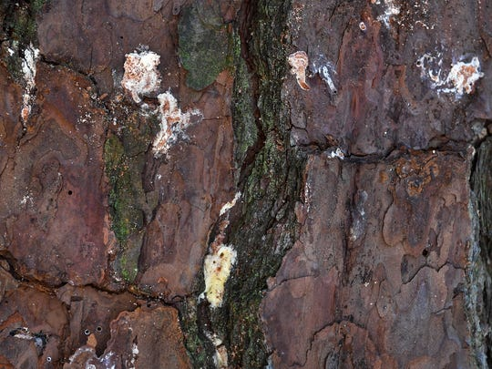 Sign of pine beetle infestation on the bark of pine