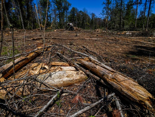 Working to cut down pine beetle infested pine trees