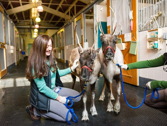 Little Buddy (left), a 7-month-old reindeer, was diagnosed with babesiosise by veterinarians at the Cornell University Equine and Nemo Farm Animal Hospital in November. Moose (right), his half-brother and herd-mate, donated a liter of blood to save his life.