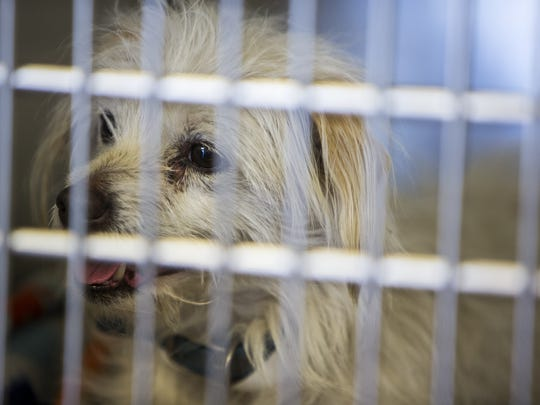 A stray dog rests in a kennel on Wednesday, Feb. 28, 2018 at Maricopa County Animal Care and Control in Phoenix.