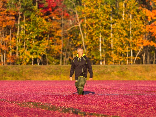 Jim Bible of Brockway Cranberry in Black River Falls wades through a flooded cranberry marsh as berries are about to be gathered in 2014.