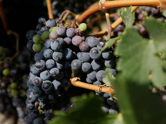 In this July 22, 2015, file photo, dry-farmed grapes