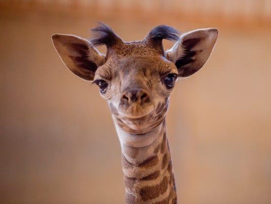 Phoenix Zoo Welcomes New Baby Masai Giraffe