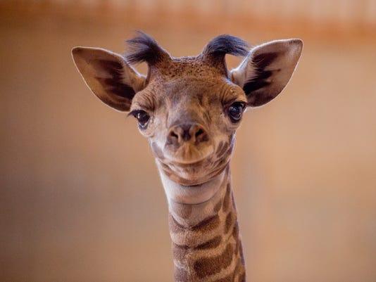 Giraffe M Phoenix Zoo wel...