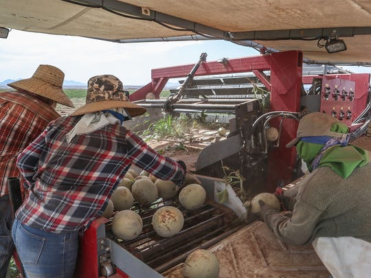 Workers pick cantaloupes atop a mechanized melon picker at Fisher Ranch in Blythe, Ca., July 9, 2018.