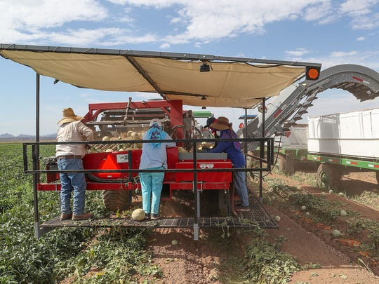Seven workers pick cantaloupes using a mechanized melon picker where traditionally there would be between 22-30 workers doing that work by hand at Fisher Ranch in Blythe, Ca., July 9, 2018.
