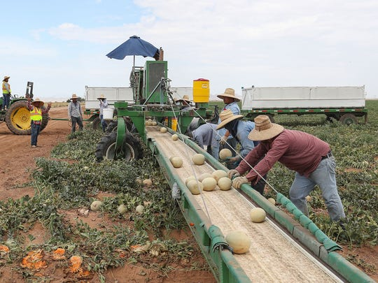 Workers harvest cantaloupes by hand in the traditional manner at Fisher Ranch in Blythe, Ca., July 9, 2018.