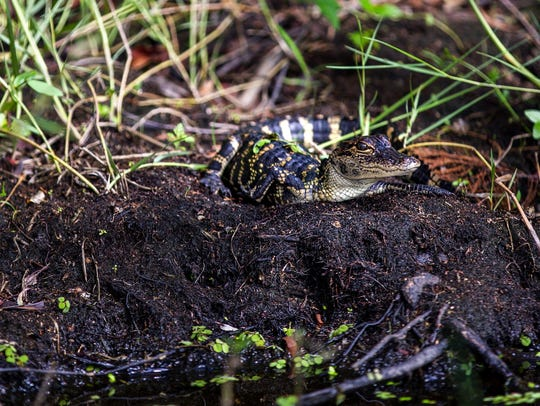 A baby alligator spotted while on a Wild Willy's Airboat