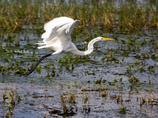 A great egret takes off over the water of Lake Tohopekaliga. (Patrick Connolly/Orlando Sentinel/TNS)