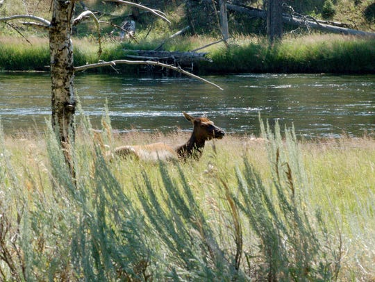 An elk lies down in the sun in Yellowstone National Park on Aug. 4, 2018.