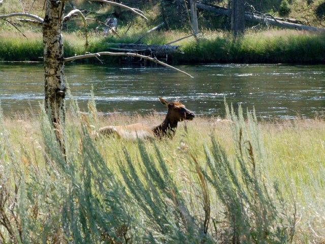 Why wolves' reintroduction into Yellowstone hasn't restored