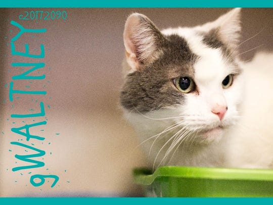 Gwaltney is an adult male domestic shorthair with beautiful