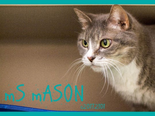 Ms. Mason is an adult female domestic shorthair with beautiful green eyes. She is very loving and affectionate and loves people. Find her at Montgomery County Animal Care and Control, 616 N. Spring St., 931-648-5750, www.facebook.com/MontgomeryCountyAdoptionServices.
