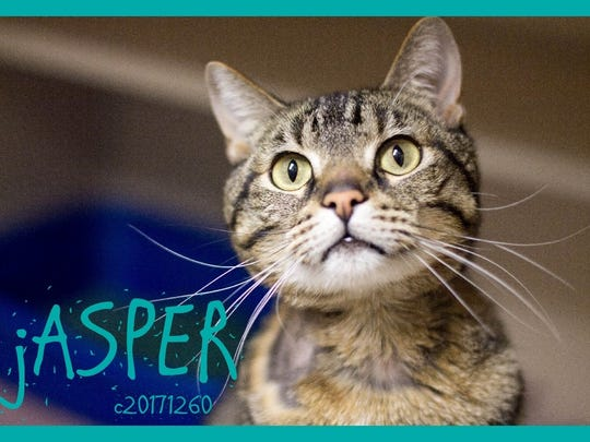 Jasper is a young male domestic short hair with an adorable round head. He is very sweet and loves people.Find him at Montgomery County Animal Care and Control, 616 N. Spring St., 931-648-5750, www.facebook.com/MontgomeryCountyAdoptionServices.