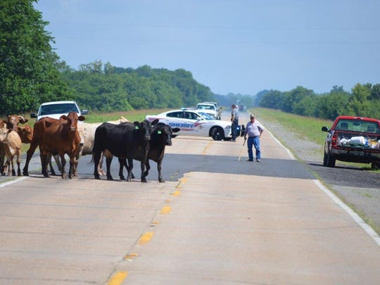 Members of the Natchitoches Parish Sheriff's Office, including Sheriff Victor Jones Jr., and cattle ranches helped owners move cattle from flooded lane off La. Highway 1 on Monday. Nearby Bayou Pierre is flooding as the Red River at Grand Ecore continues to rise.