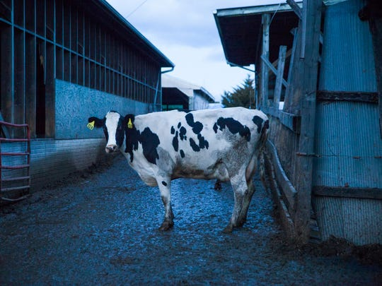 A dairy cow stands in the mud at River Bend Farm on Thursday, Dec. 25, 2014.