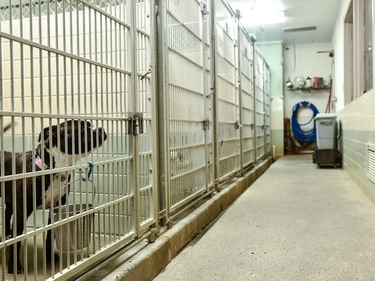 A dog waits in its pen at the Marion Area Humane Society,