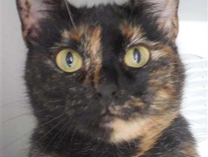 Fana, tortie, spayed, 2, loves attention, waiting weeks, she is one of 5 torties available. She is the sweetest and pretty, too. Find her at Petco on Youree Drive.