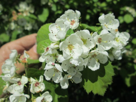 Pringle's Hawthorn (Crataegus pringlei), is named for