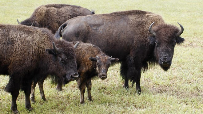 A herd of bison greet visitors during a tractor-drawn wagon tour on the Van Meter Buffalo Ranch in the White County town of Buffalo.