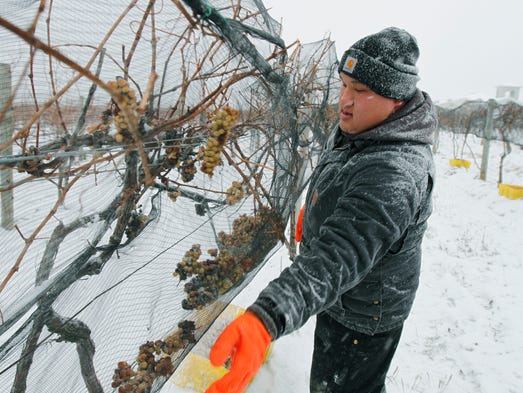 Michael Tickner of Newark, gathers the grapes in the
