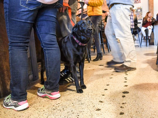 Henry, a black lab with owners Michael and Ellen Glen of Greenville, sits quietly while others are seated at The Community Tap near downtown Greenville on Friday.