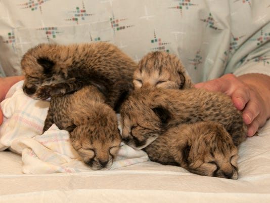 cheetah-cubs-041516