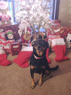 Luke, a six-year-old Miniature Pinscher, sits happily the week of Christmas after his mother, Emily Wicker, of Mansfield, used CPR to revive him after he choked on a puppy treat.