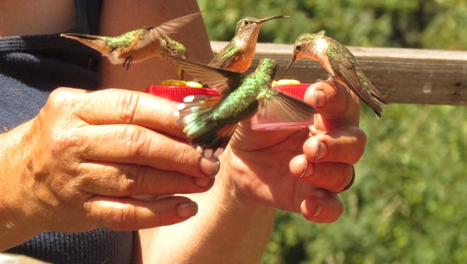 """Hand taming hummers requires only one session, thanks to their obsession with red. Handheld feeders, like the """"Sweeties"""" we make and sell on sallyroth.com, are great fun to play with."""