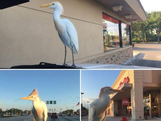 Egret rides on a car
