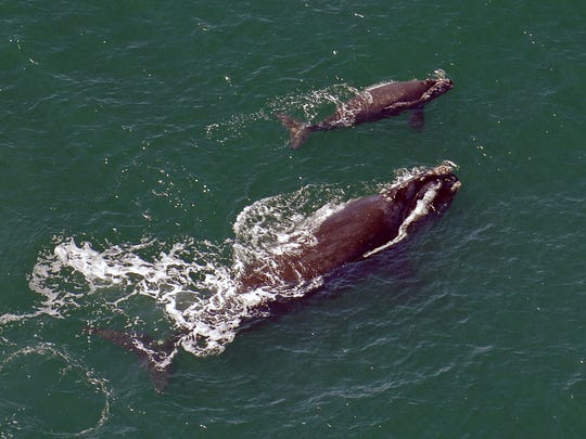 In this 2009 file photo, a female right whale swims at the surface of the water with her calf a few miles off the Georgia coast.