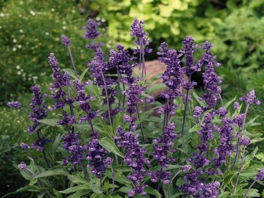 salvia-farinacea-evolution-violet-v0750-1jpg (1)