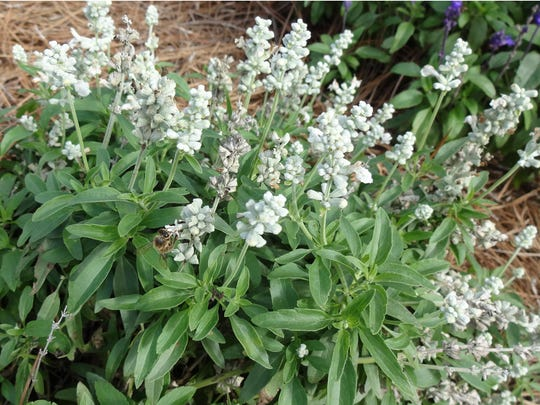 Evolution White salvia attracts bees and other pollinators.