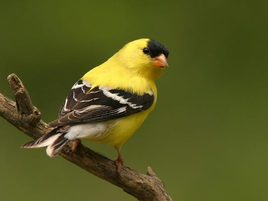 The Goldfinch is New Jersey's state bird.