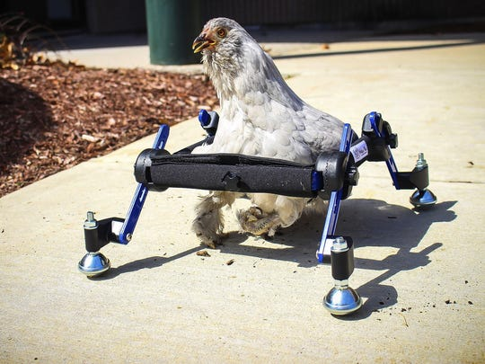 """In this April 3, 2019 photo a pet chicken named Granite Heart tests out a custom wheelchair made by Walkin' Pets in Amherst, N.H. On a recent SNL episode, the television show's """"Weekend Update"""" co-host said she should """"just eat the chicken."""""""