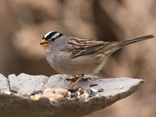 WDH 1010 Outdoor Rec White-crowned sparrow.jpg