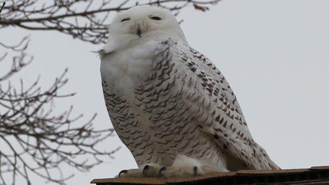 A snowy owl has been spotted near Chrysler Beach in Marysville.