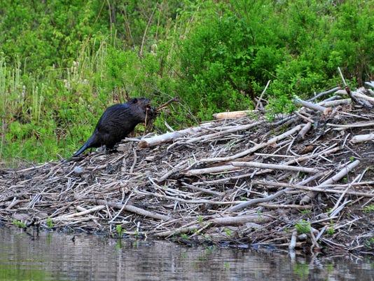 Beaver. Photo by David Johnson