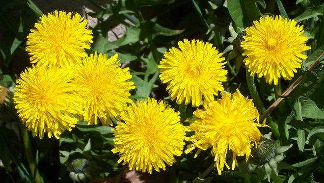 Not only are dandelions attention getters in providing color to the landscape early in the growing season but they also can serve as food for humans, bees, and some insect species.