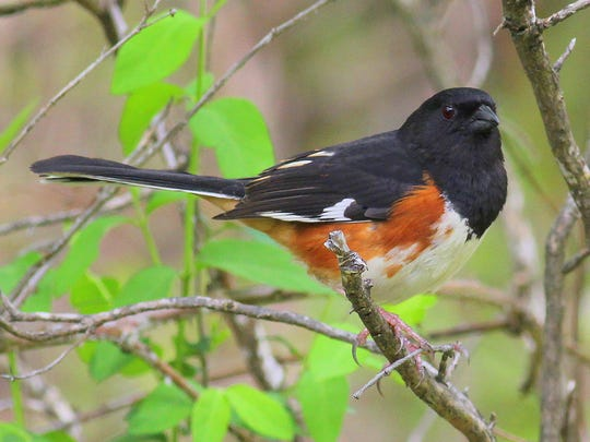 An eastern towhee at Olana.