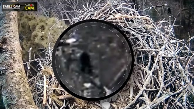 This still from Carbon Media Group's OutdoorHub YouTube video shows a zoom of a dark figure walking on two legs underneath a live cam of an eagle's nest on the grounds of the Platte River State Fish Hatchery in Beulah.
