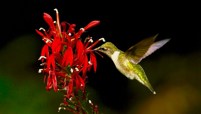 A female ruby-throated hummingbird feeds on nectar at a scarlet Lobelia otherwise known as cardinal flower. Lobelia is an excellent border plant for moist locations and attracts hummingbirds as well as butterflies and swallowtails.