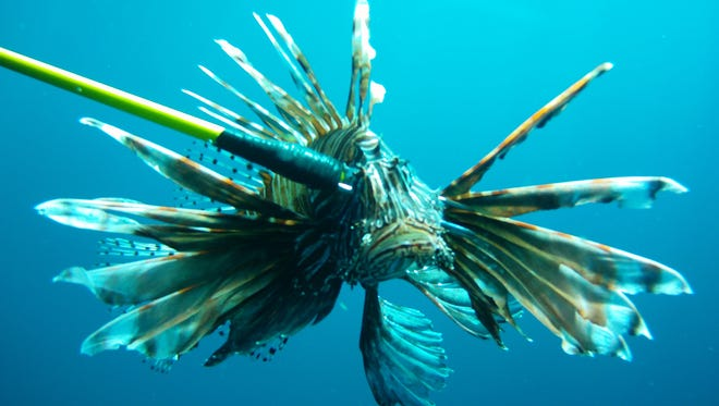 Robert Turpin spears a lionfish off the shores of Pensacola Beach.