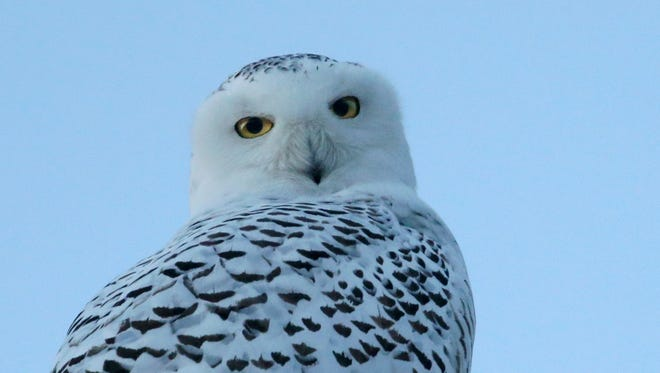 Shawn Dowd spotted this snowy owl near the Finger Lakes Regional Airport, south of Seneca Falls, in 2017.