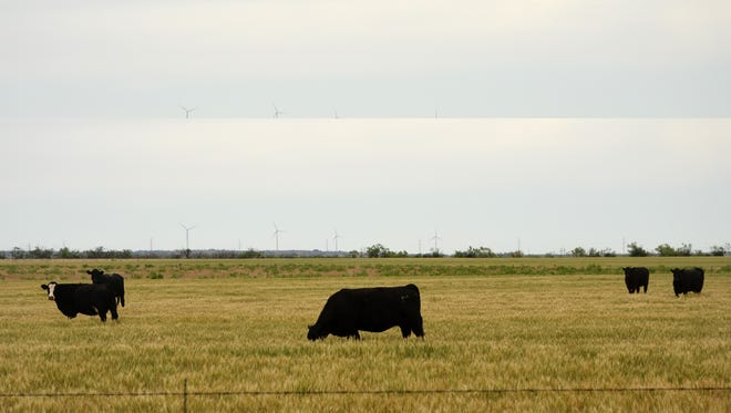 Grazing cattle on wheat could be an increasingly popular option for producers as wheat prices remain low.