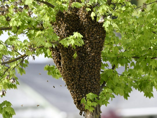 Bees swarm a tree in northwest Visalia on Thursday