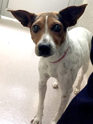 Friskie is a 2-year-old Jack Russell Terrier who is looking for someone who understands her breed. She's a super sweet girl who loves to give kisses. Look at those ears! She's had little to no training on a leash, however, so she will need to find a home where folks will be willing to work with her on some of the basics. If you understand JRTs, stop out and meet Friskie.
