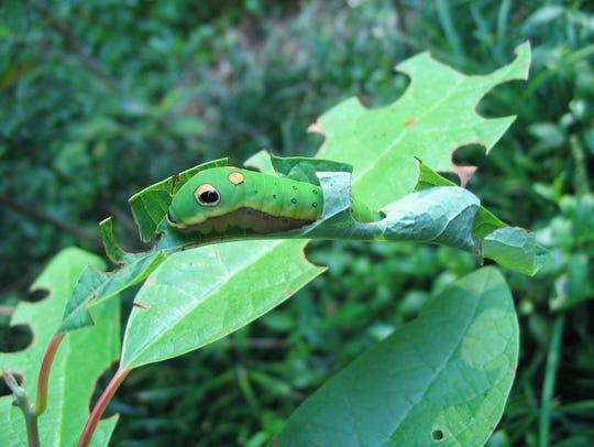 Spicebush swallowtail caterpillar on sassafras serves