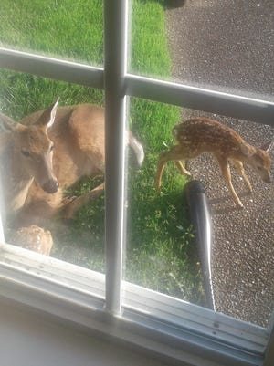 A doe gave birth to two fawns in a Goodlettsville family's backyard during Mother's Day weekend.